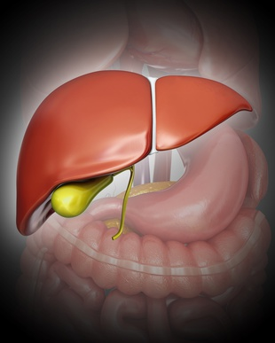 Human liver and gall bladder, computer artwork.